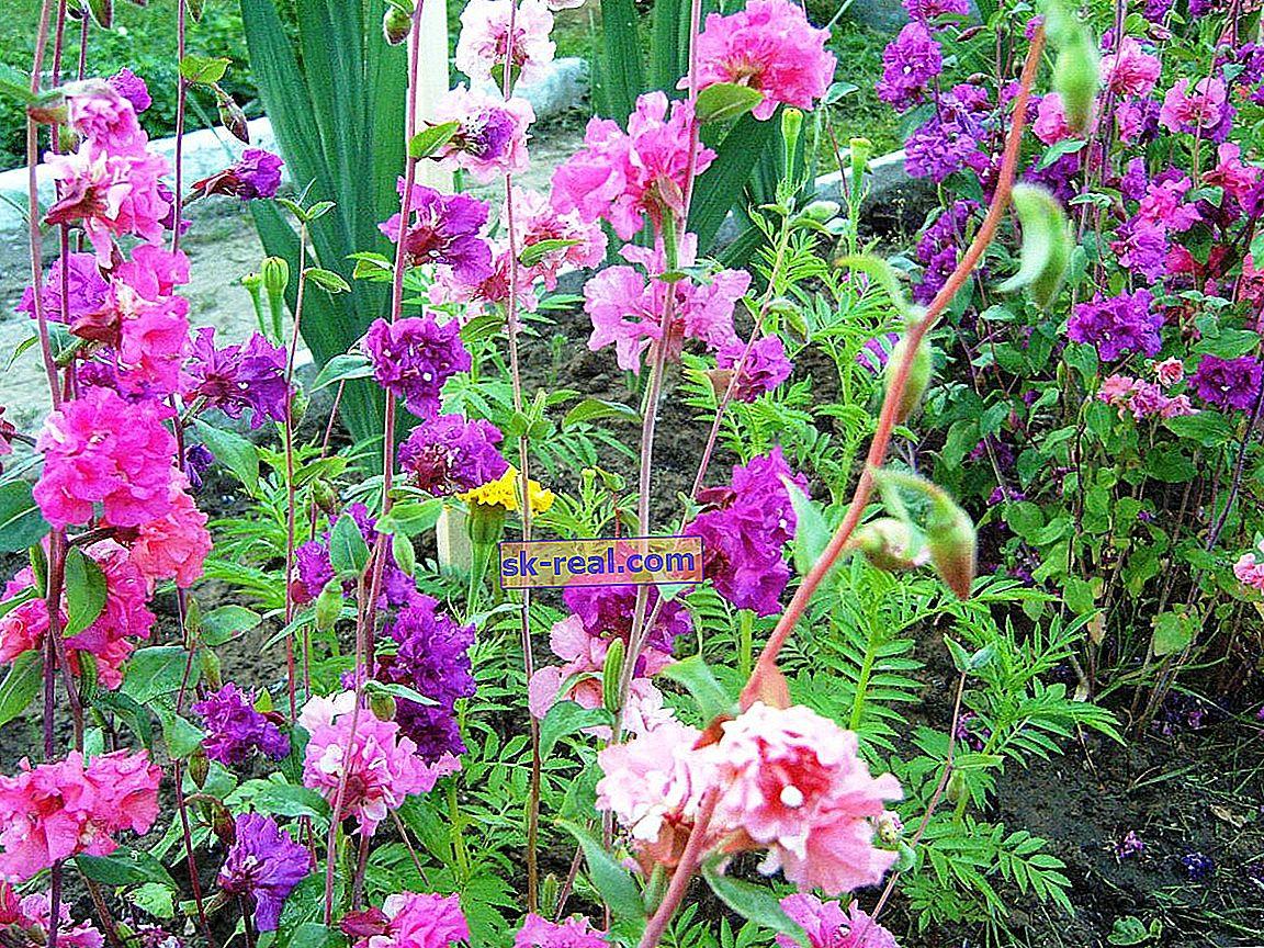 Кларкія витончена: опис і вирощування