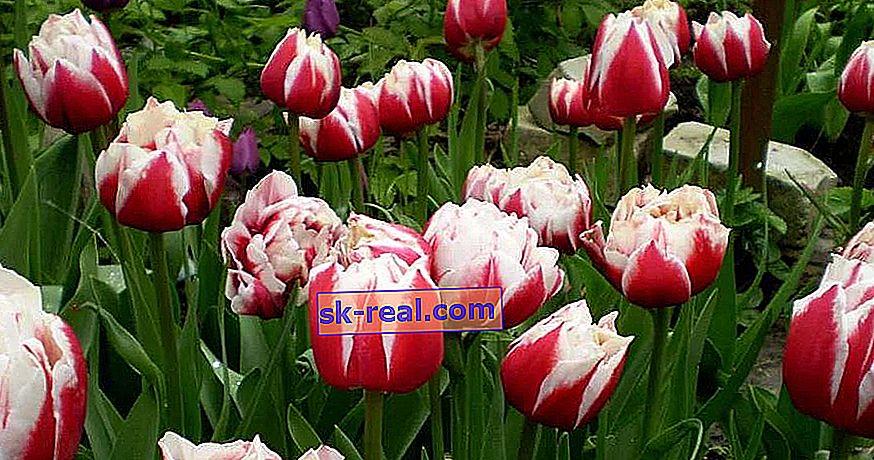 Vse o tulipani iz potonike