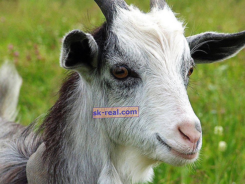 Кози очи: особености и форма на зениците