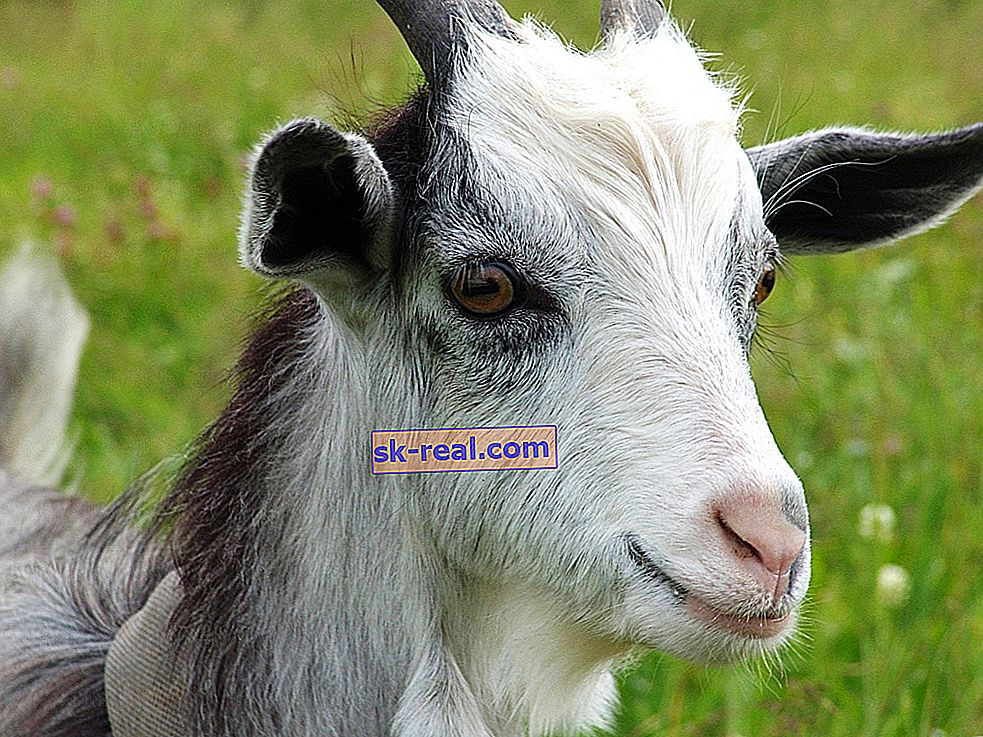 Oczy kozie: rysy i kształt źrenic