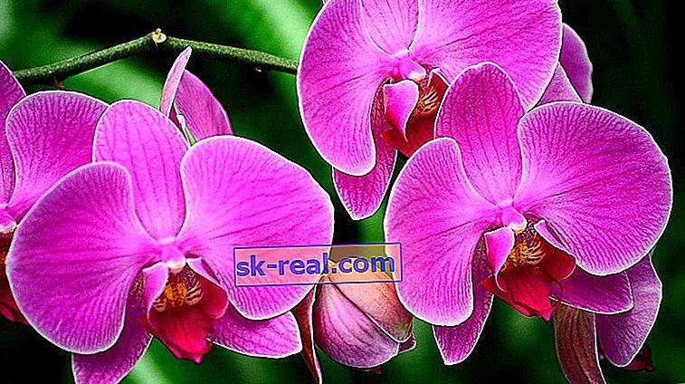 Рожеві орхідеї: сорти та їх опис