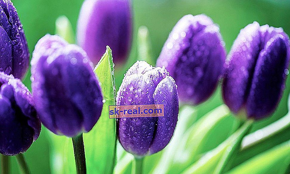 Sorte vijoličnih tulipanov in značilnosti njihovega gojenja