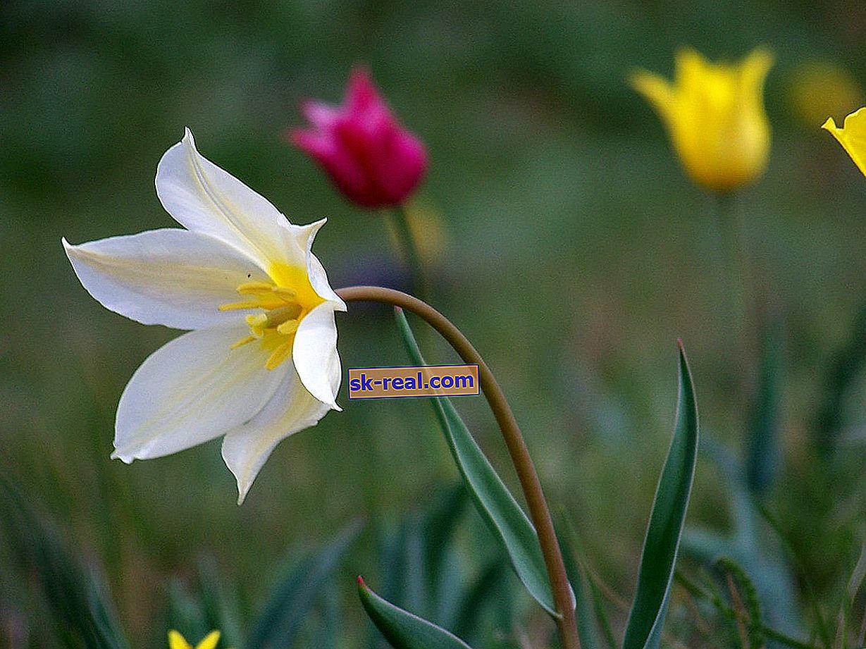 Tulipani Schrenk: kratek opis vrste in značilnosti gojenja