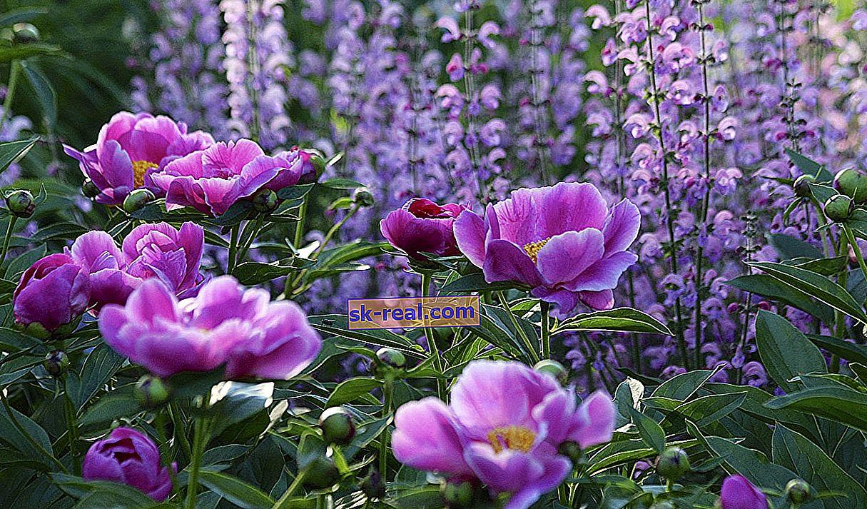 Wszystko o fioletowych i liliowych piwoniach