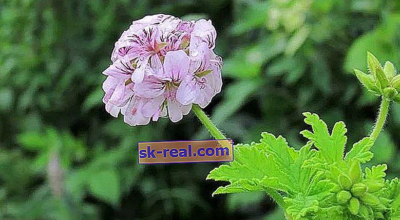 Dišeča pelargonija: opis, sorte, sajenje in nega