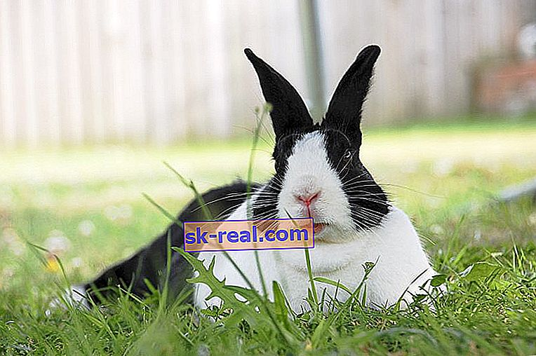 Преглед на холандски зайци