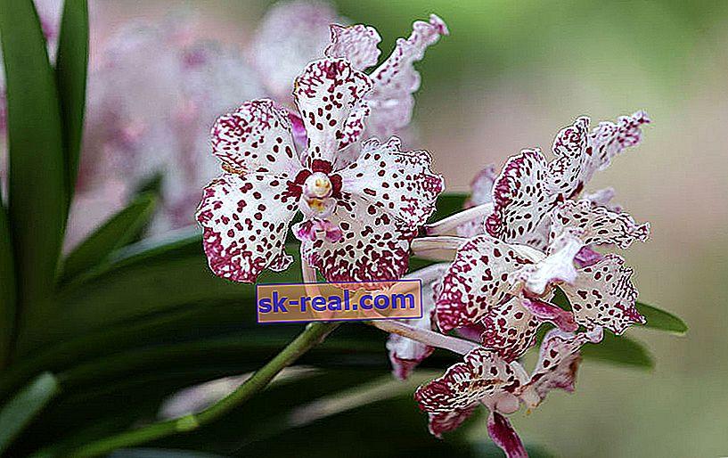 Рідкісні орхідеї: види і їх опису