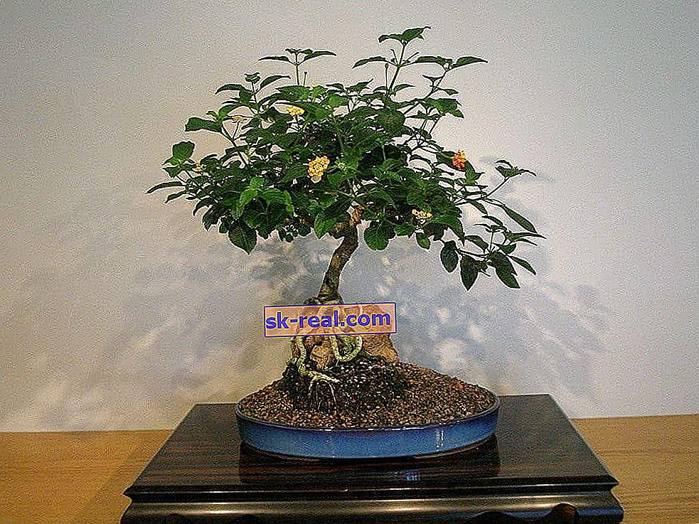Як вирощувати бонсай з насіння в домашніх умовах?