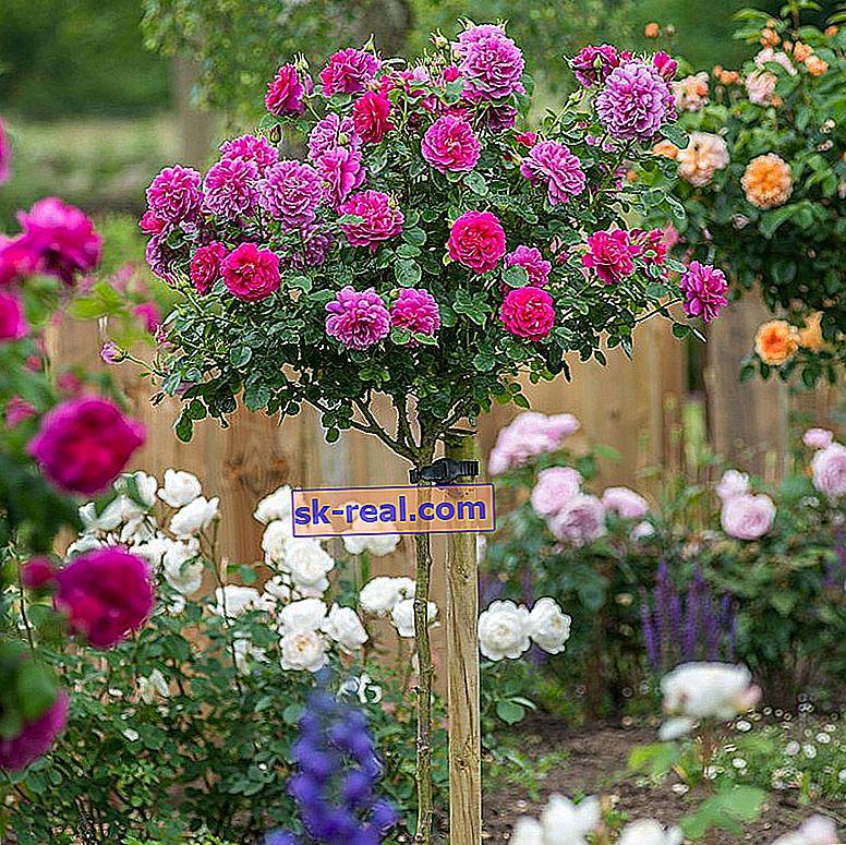 Штамбові троянди: опис, види і тонкощі посадки