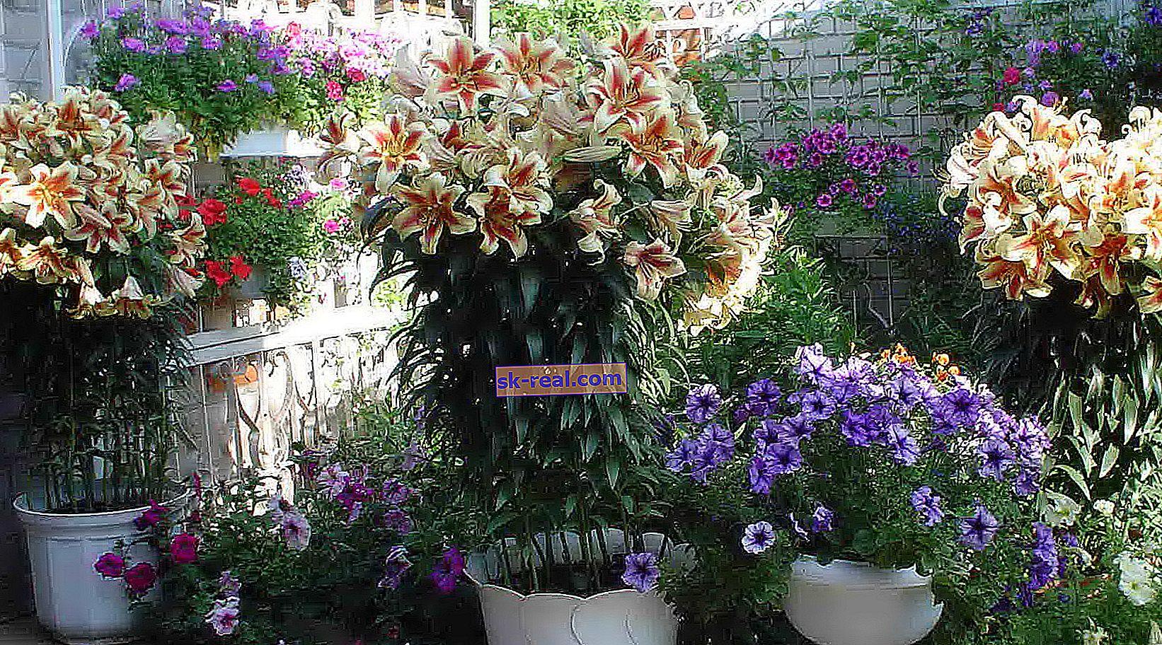 Piramidalne lilije: najboljše sorte in skrivnosti gojenja