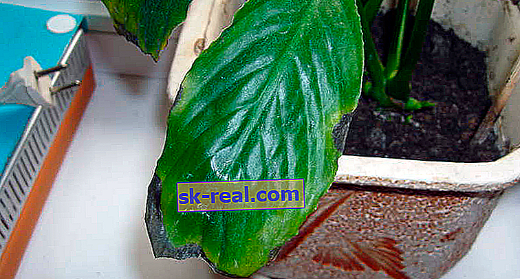 Чому чорніє листя у спатифиллума і що з цим робити?