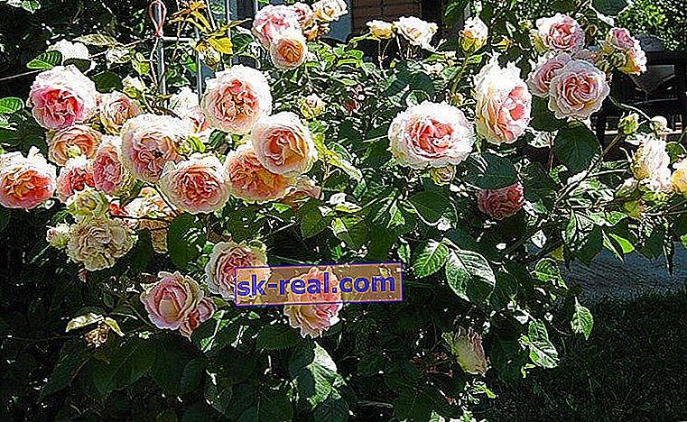 Опис і вирощування троянд сорту «Цезар»