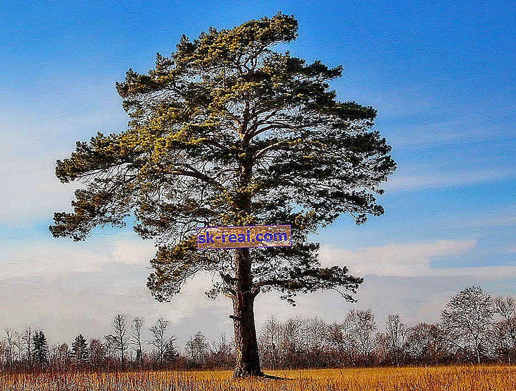Pine: kako izgleda in koliko let živi, prednosti in slabosti