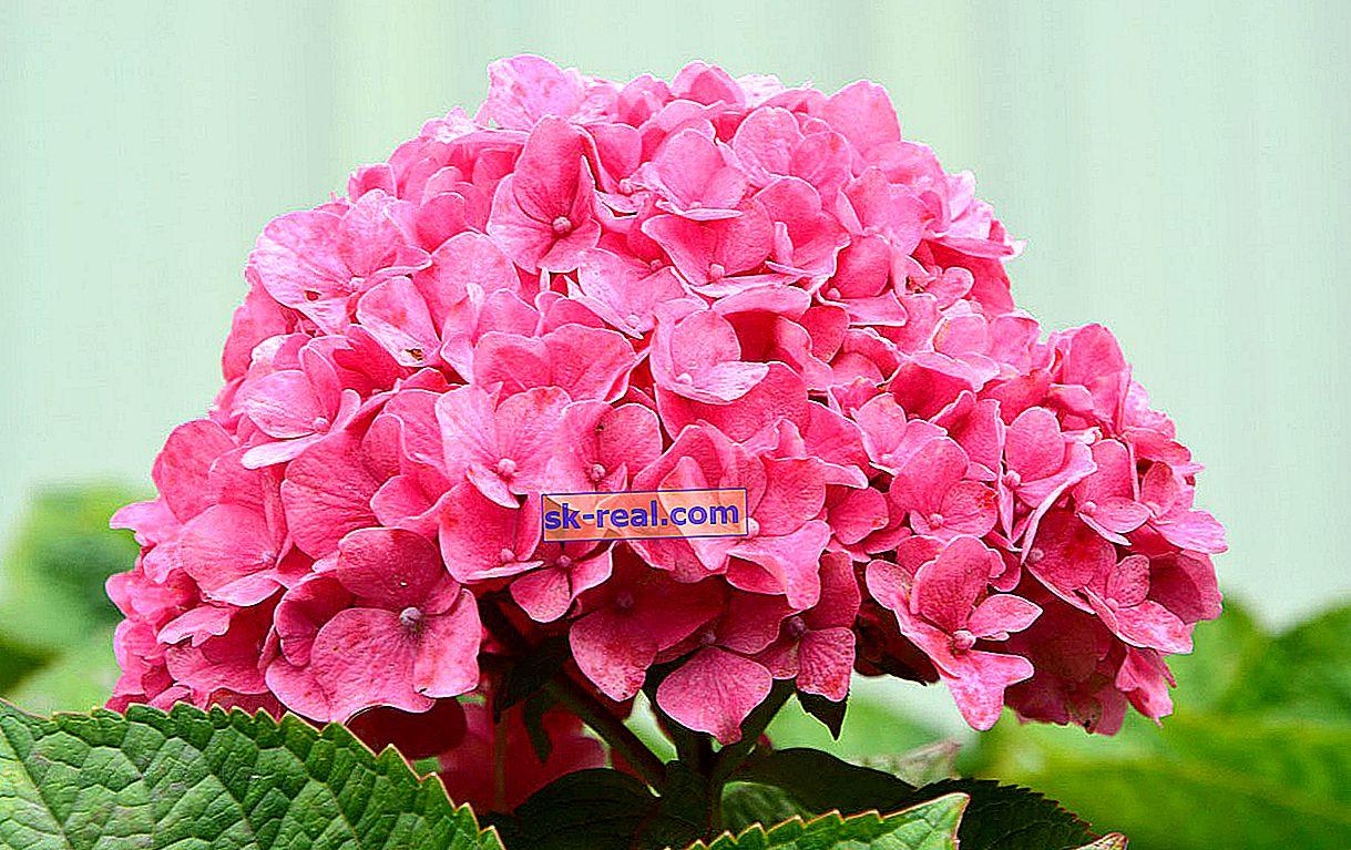 Roza hortenzija: sorte, sajenje in oskrba