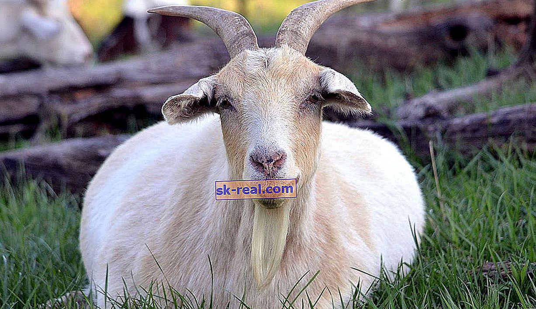 Jagnięcina kozia: terminy i znaki