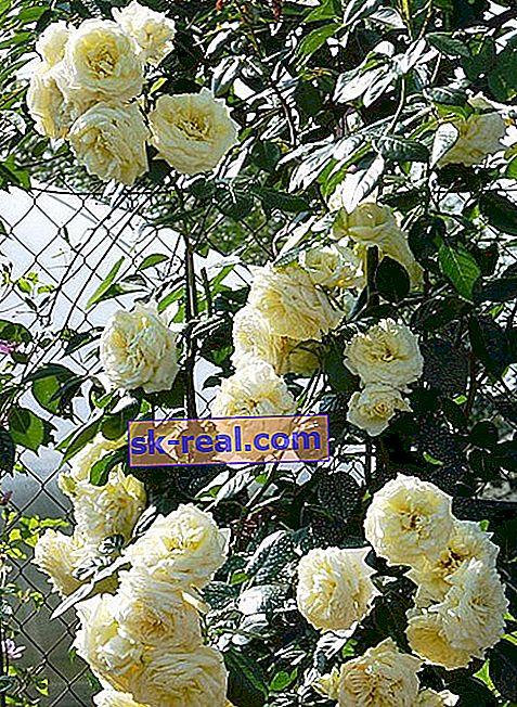 Плетиста троянда «Ельф»: опис сорту, посадка і догляд