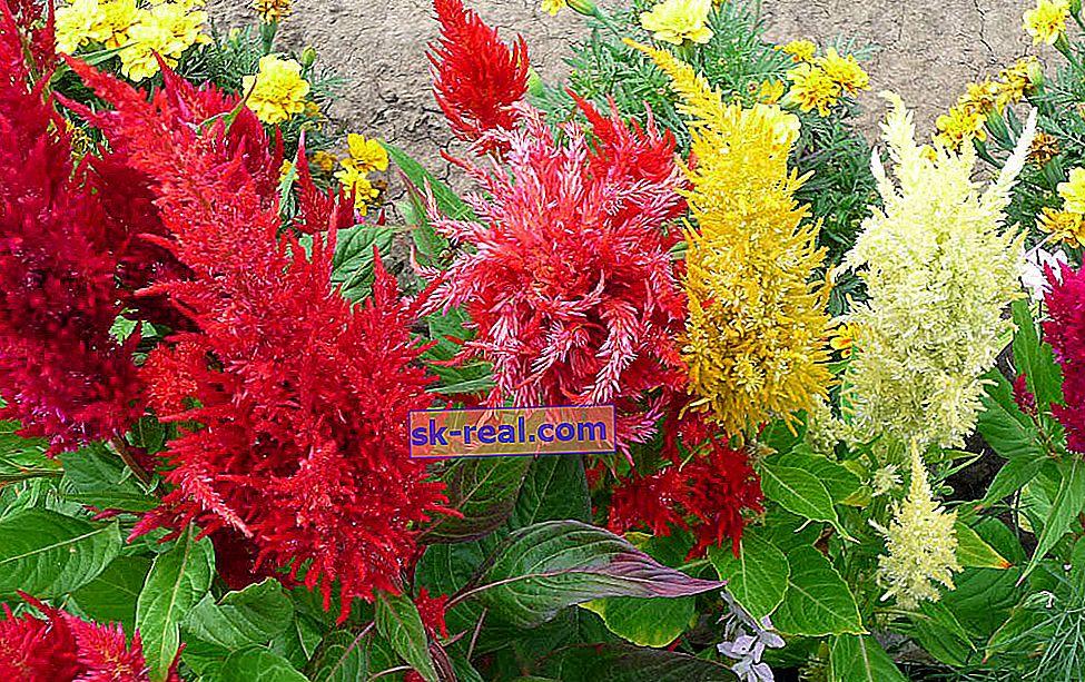 Celosia paniculata: sorte, sajenje in nega