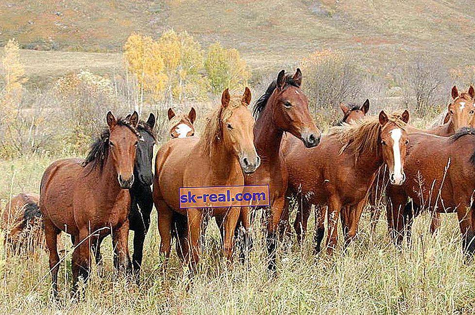 Руски породи коне