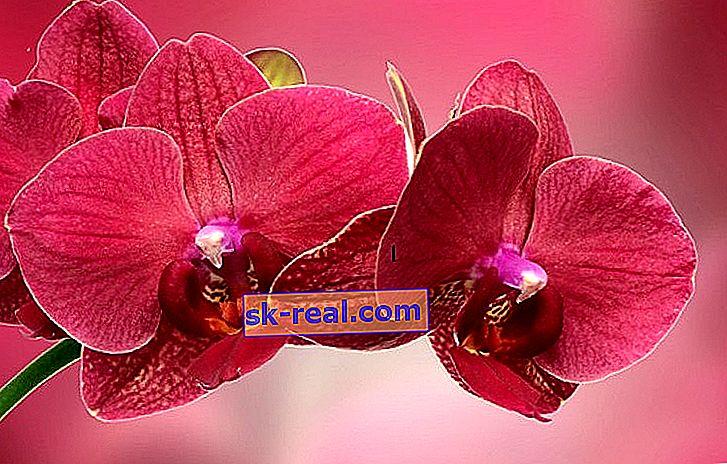 Червоні орхідеї: сорти з описом і догляд