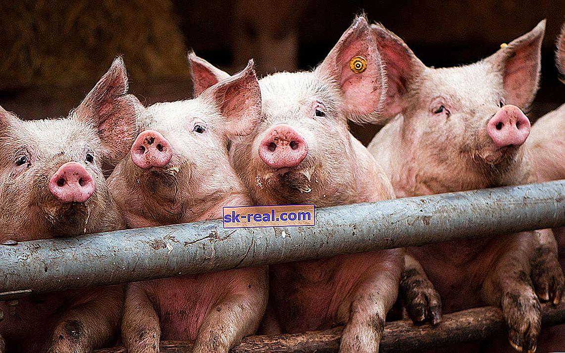 Karma dla świń Purina: wybór i funkcje aplikacji