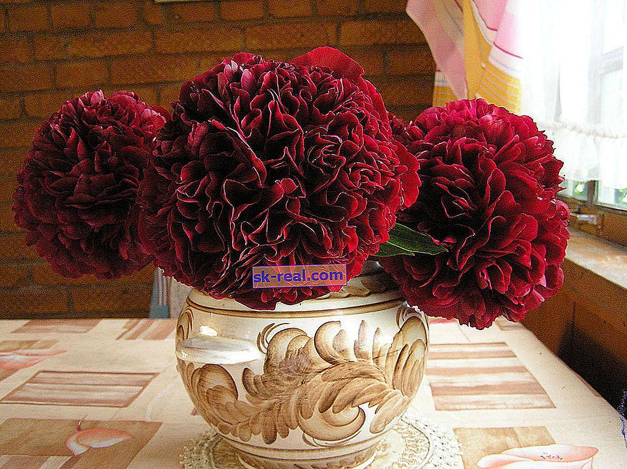 Popularne odmiany czerwonych piwonii, zasady ich sadzenia i pielęgnacji