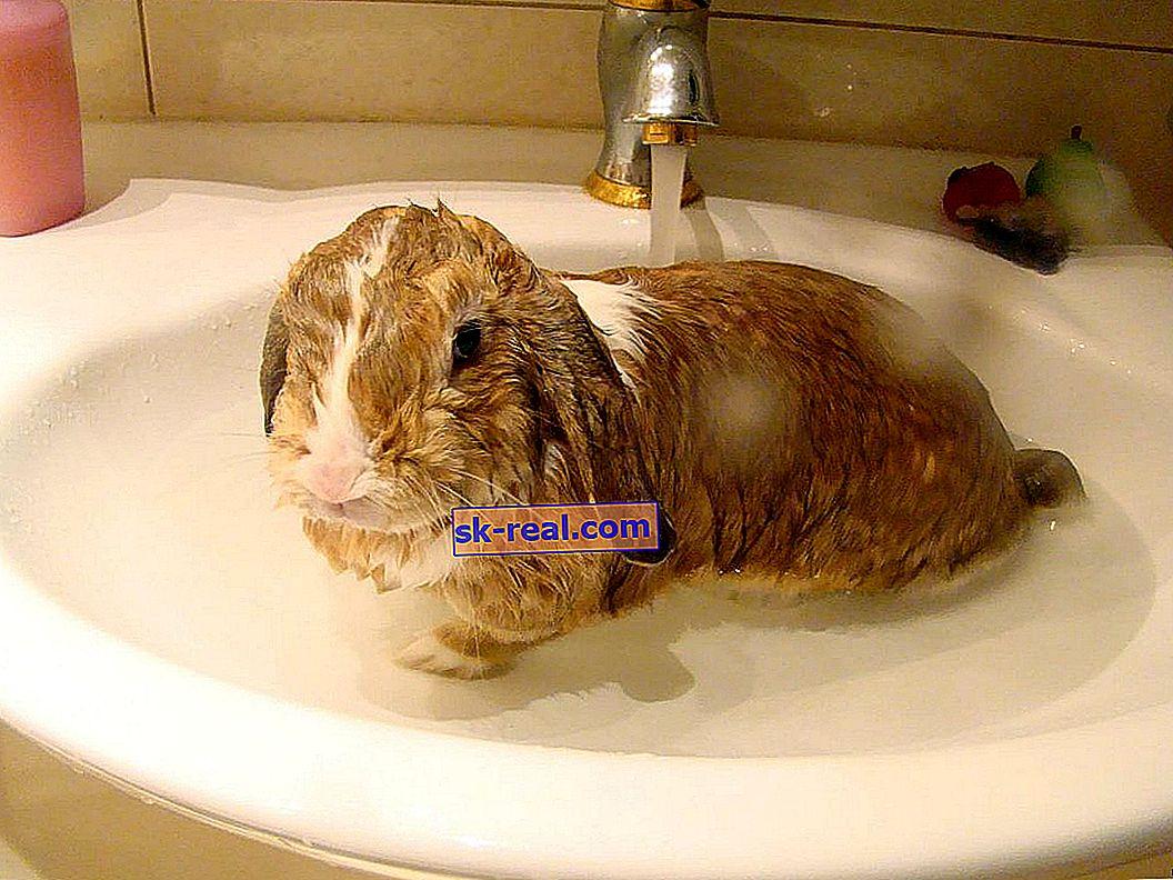 Czy można wykąpać królika i jak to zrobić poprawnie?