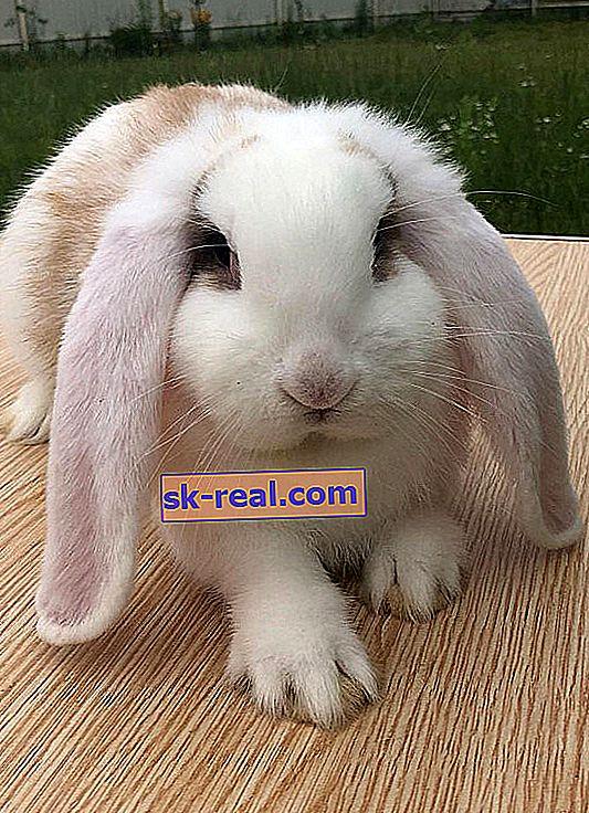 Opis i zawartość królików baranów francuskich