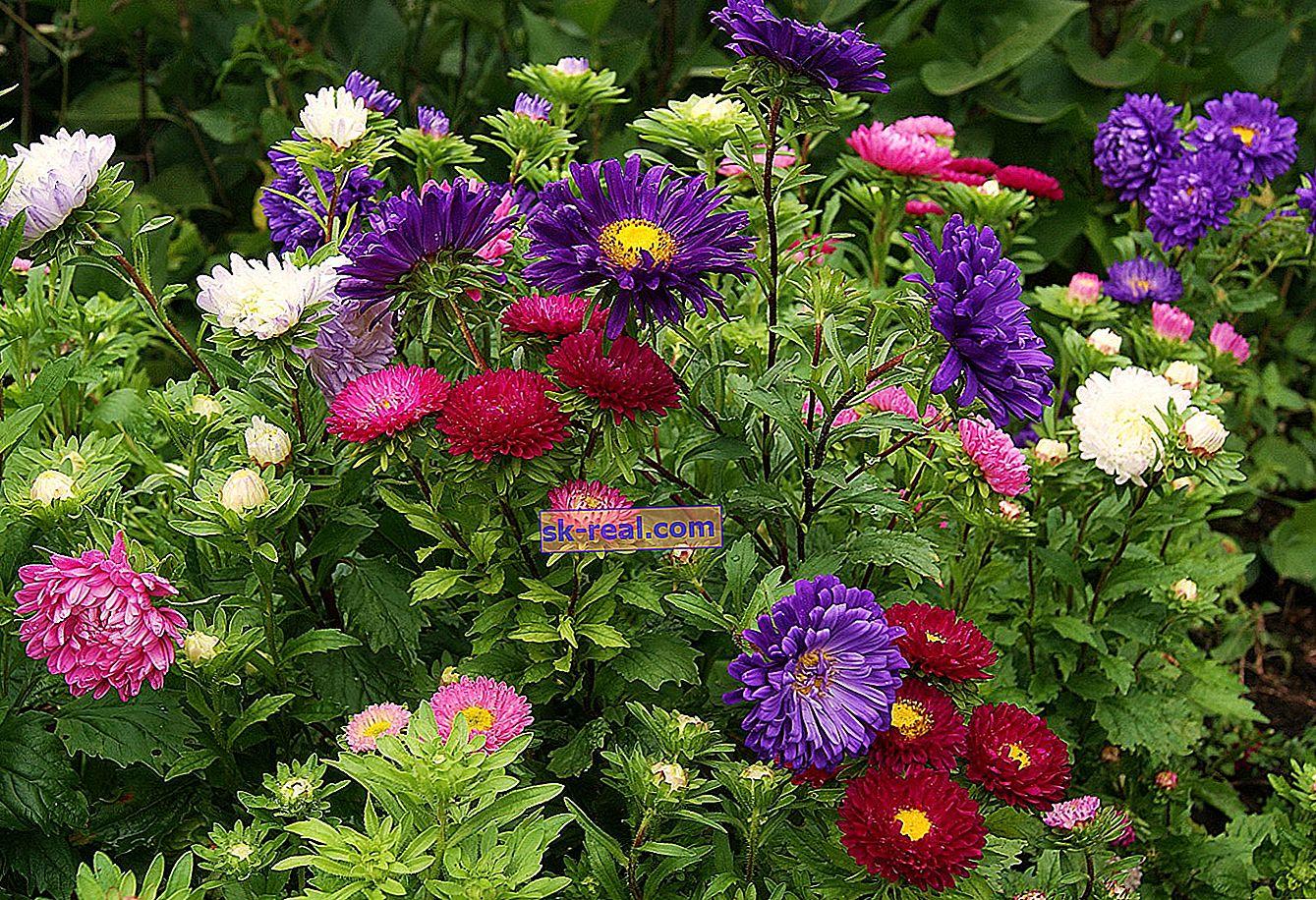 Jesensko cvetje: kaj so in kako gojiti?