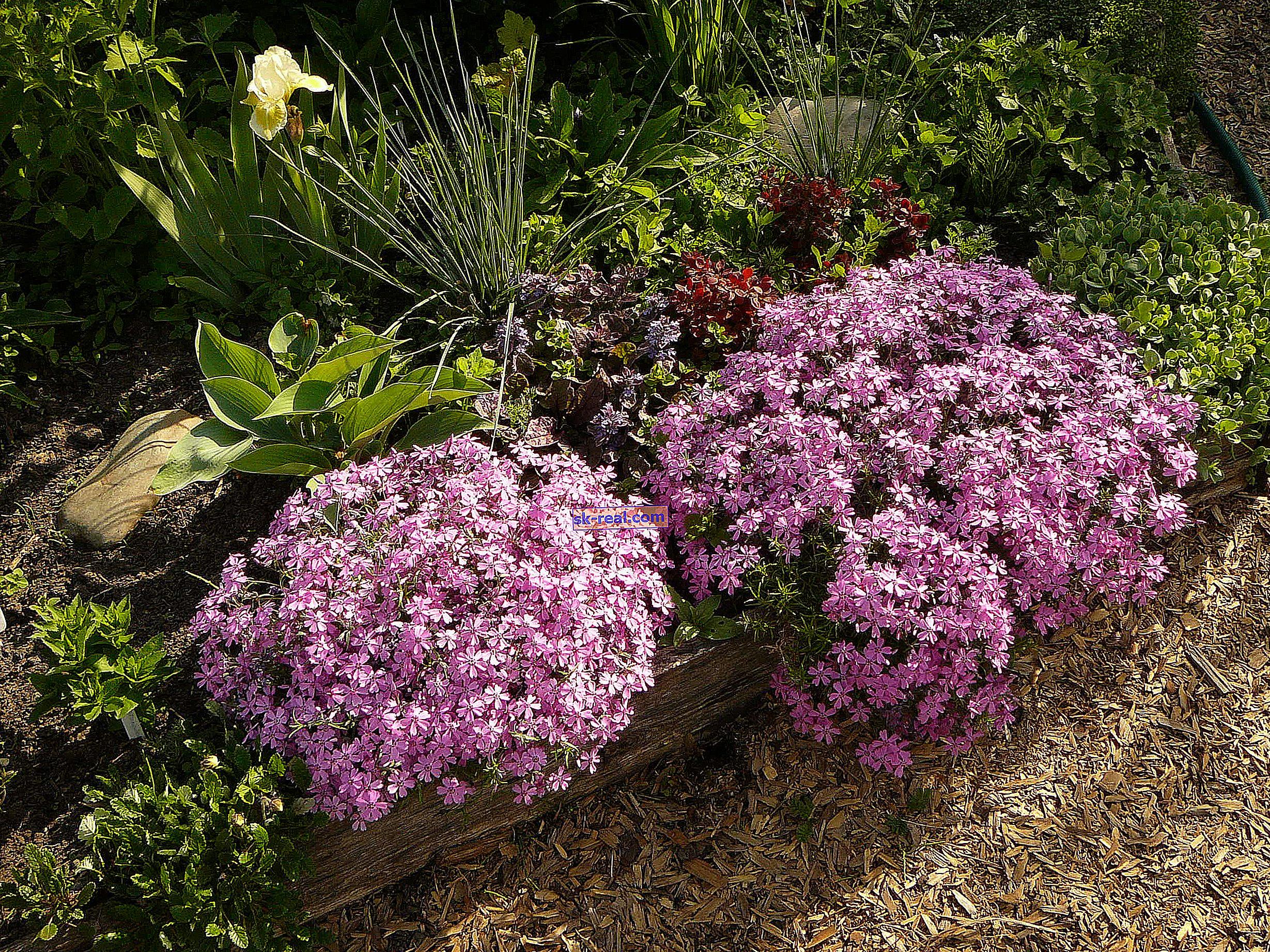 Nisko rosnący floks: opis odmian, sadzenie i pielęgnacja