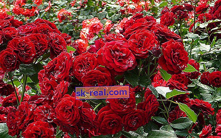 Hybrydowe róże herbaciane: co to jest, odmiany z opisami, sadzeniem i pielęgnacją