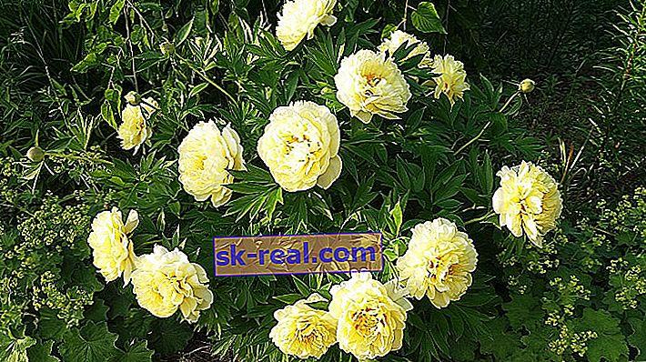Opis odmian żółtych piwonii, pielęgnacji i sadzenia
